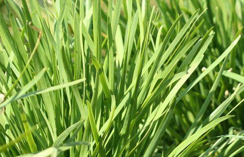 喷播物料-草地早熟禾种子