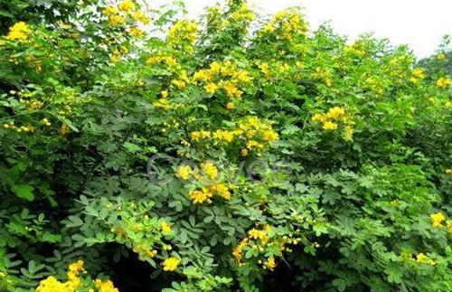 喷播物料-多花木兰种子