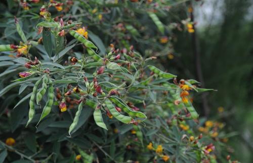 喷播物料-木豆种子